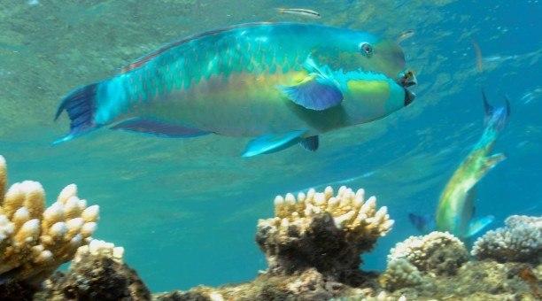 Great Barrier Reef Parrotfish